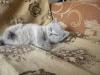британский котенок Розмари2