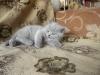 британский котенок Розмари3