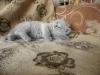 британский котенок Розмари4