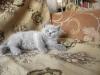 британский котенок Розмари5