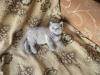 британский котенок Розмари6