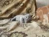 британский котенок Розмари7