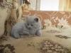 британский котенок Розмари8