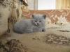 британский котенок Розмари9