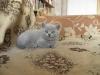 британский котенок Розмари10