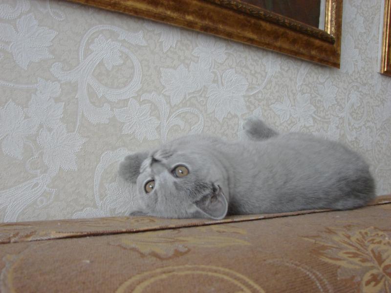британский котенок_roven1