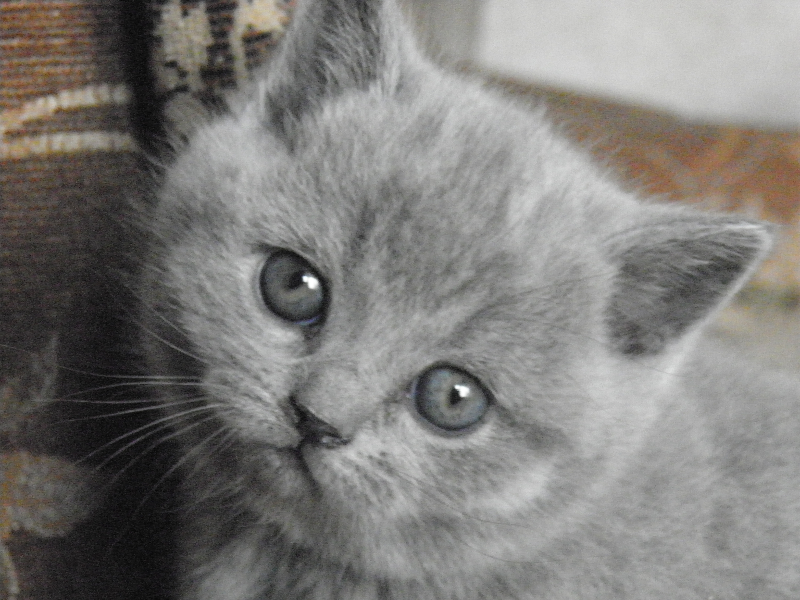 британский котенок Ровенна1