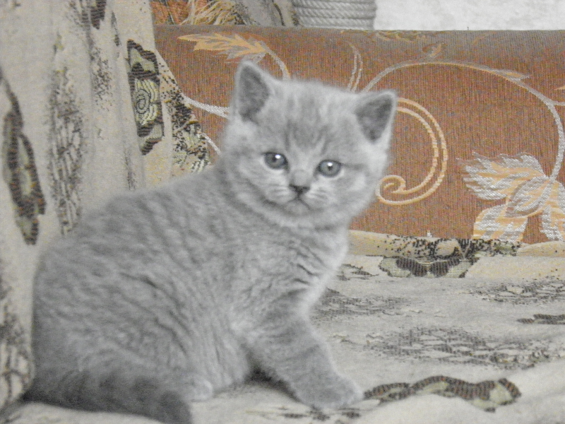 британский котенок Ровенна2