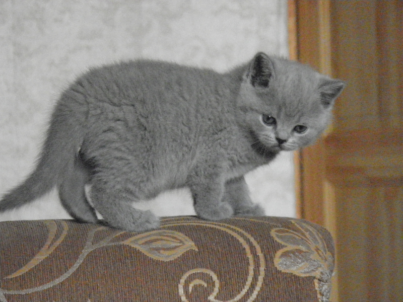 британский котенок Ровенна7