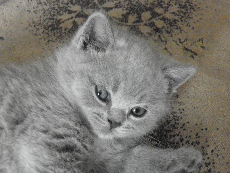 британский котенок Ровенна15