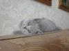 британский котенок_roven3