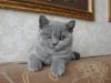 британский котенок _roven4