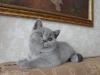 британский котенок _roven5