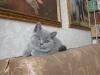 британский котенок _roven2