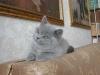 британская кошка_rovenna