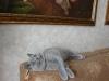 британский котенок_roven6