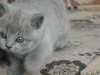британский котенок Ровенна3