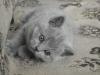 британский котенок Ровенна4