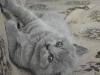 британский котенок Ровенна5