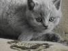 британский котенок Ровенна6
