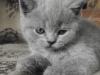 британский котенок Ровенна8