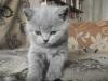 британский котенок Ровенна9