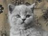 британский котенок Ровенна10
