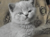 британский котенок Ровенна11