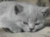 британский котенок Ровенна12