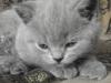 британский котенок Ровенна13