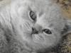 британский котенок Ровенна14