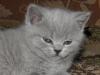 британский котенок Ровенна16
