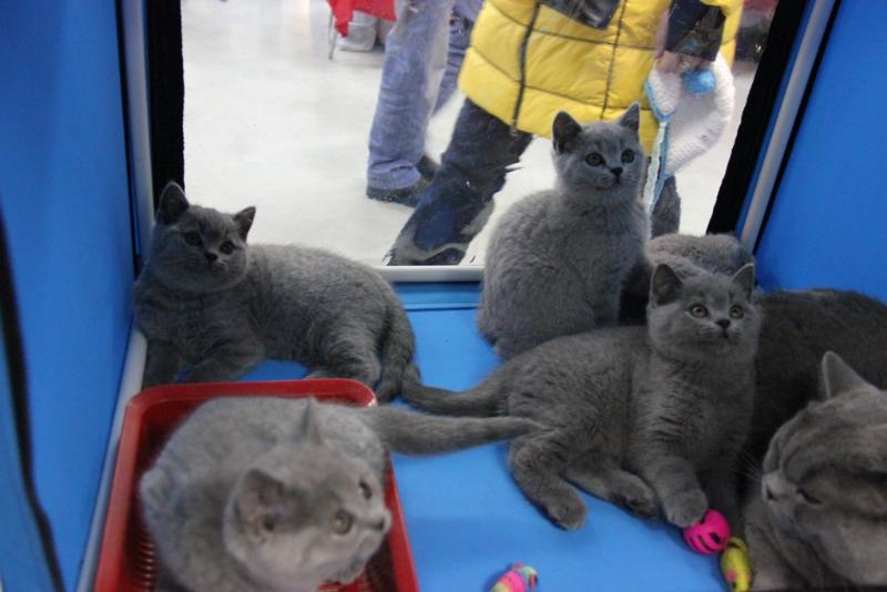 британские котята клетка