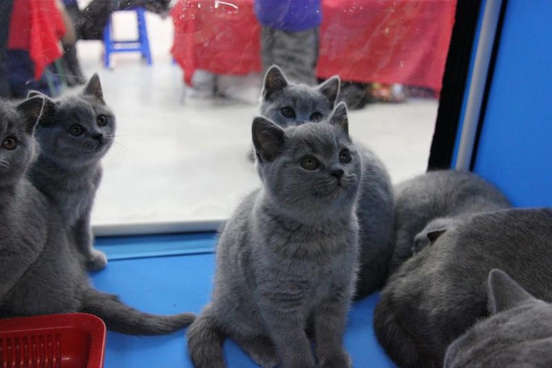 британские котята клетка2