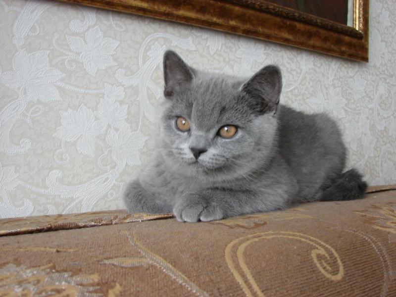 британский котенок_rotsh2_0
