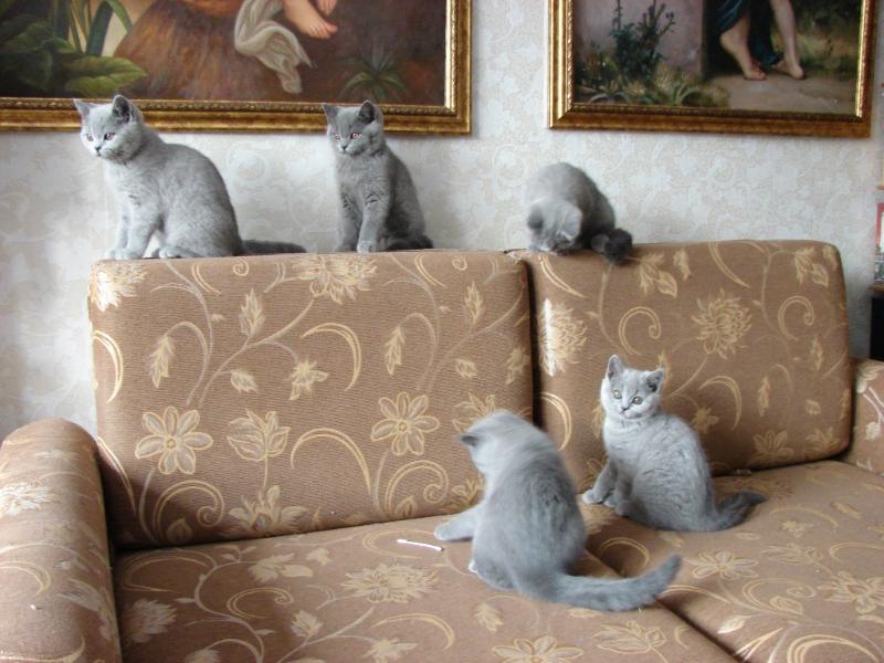 британский котенок_vse3