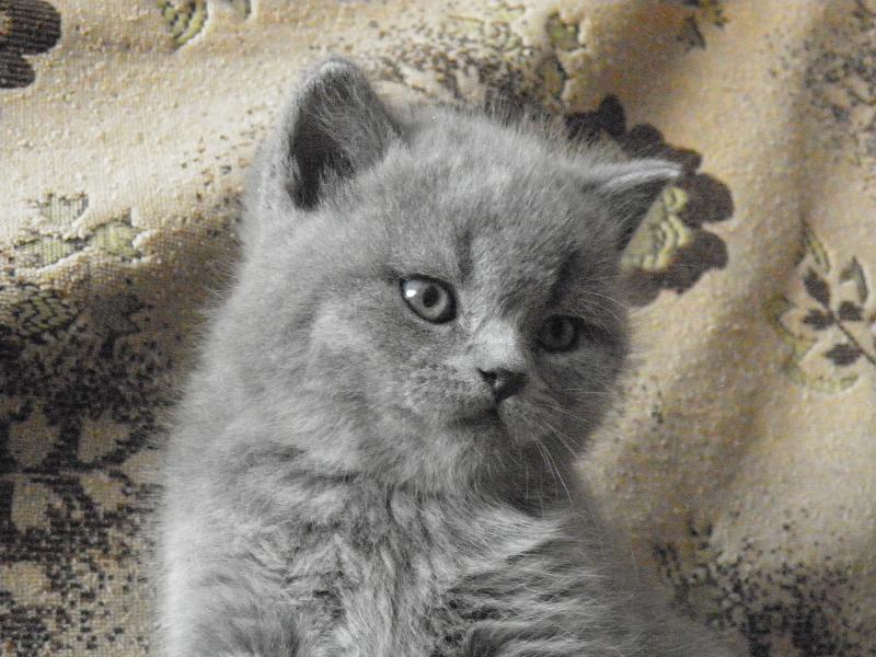 британский котенок Ротшильд1