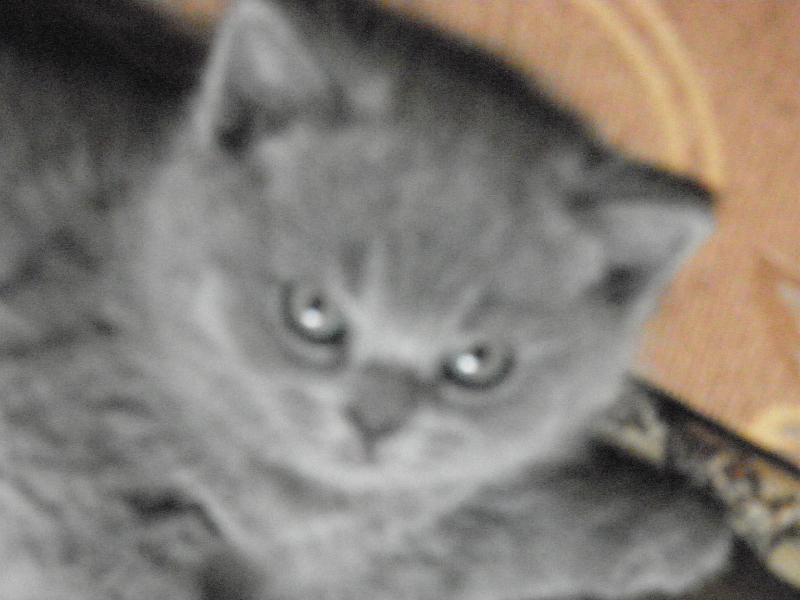 британский котенок Ротшильд4