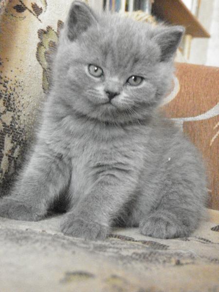 британский котенок Ротшильд6