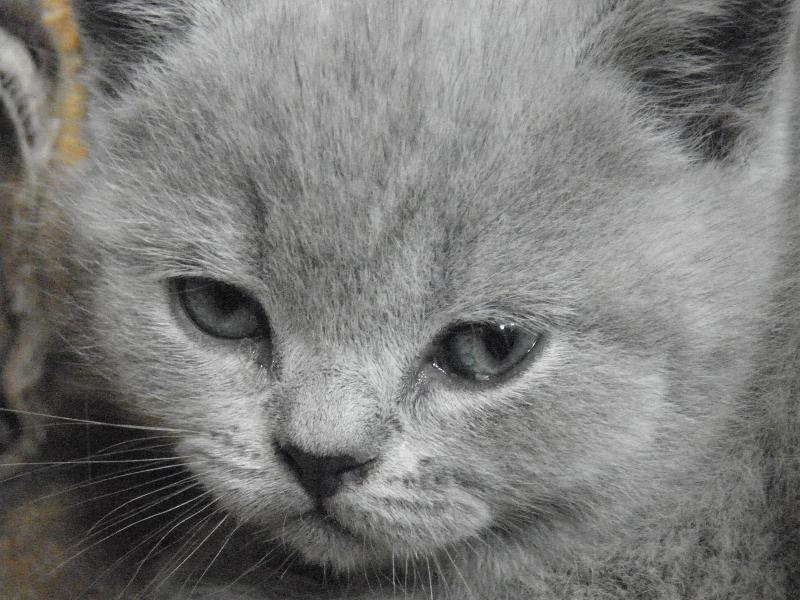 британский котенок Ротшильд8