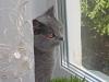 Британский кот созерцает