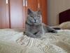 Британский кот4