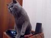 Британский кот2