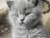 британский котенок Ротшильд2