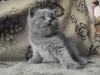 британский котенок Ротшильд3