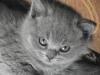 британский котенок Ротшильд5