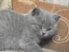 британский котенок Ротшильд7
