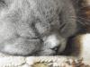 британский котенок Ротшильд9