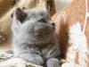 Ротшильд10британский котенок