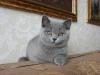 британский котенок rotsh1_